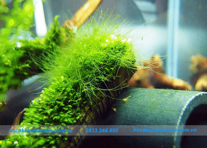 Xử lý hồ cá ngoài trời bị rêu