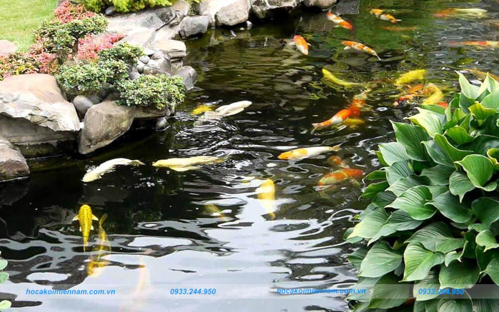 Hướng dẫn giữ hồ cá ngoài trời nước xanh. Ảnh: 1