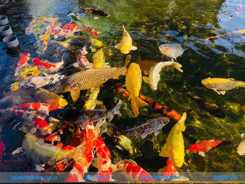 hồ cá koi đẹp tại TP HCM
