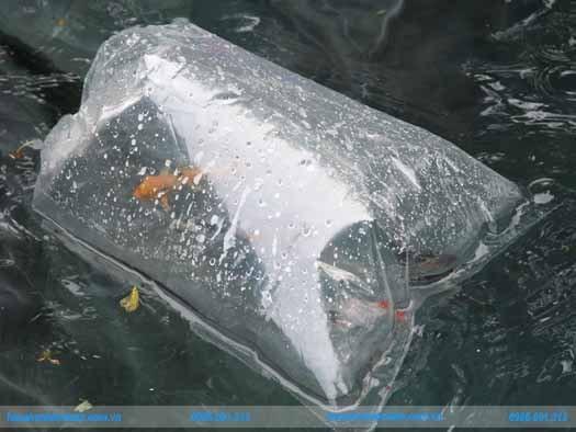 Thả cá koi vào hồ sau khi xử lý