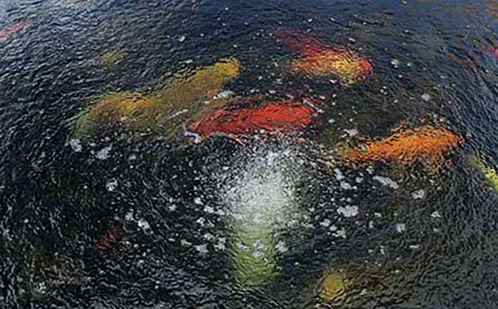 Bật sủi cho hồ cá koi